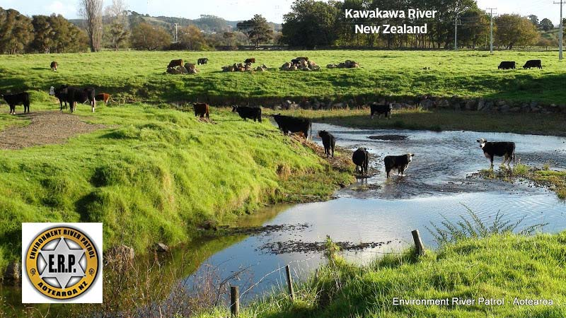 New Zealand Kawakawa River Cattle Defecate / Urinate in River