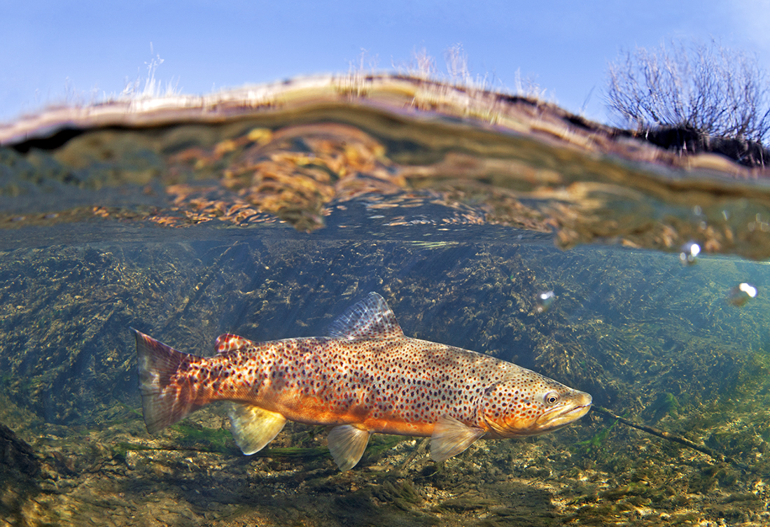 Smith River Montana Brown Trout say no to copper mining
