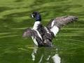 ducktakingoff
